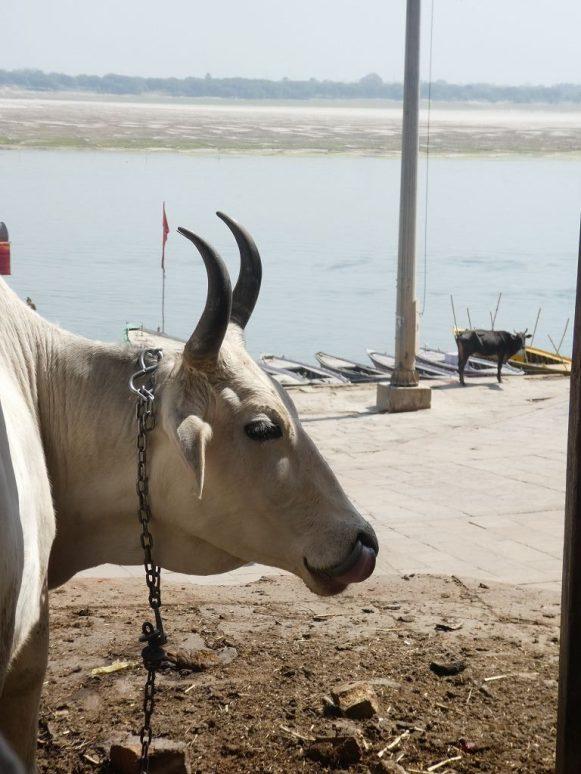 Heilige Kuh am Ganges