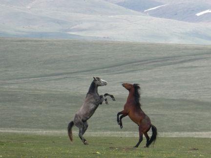 Pferde beim Spielen und Toben - frei in der Wildnis