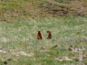 Murmeltiere konnten wir oft beobachten. Wirklich herzig!
