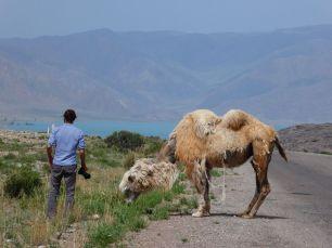 Kamele auf dem Weg