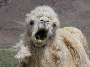 Kamel auf dem Weg zum Issyk Kül